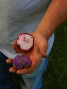 Organically grown blue potatoes and mixed turnip/radishes.