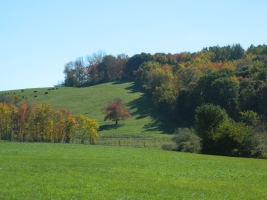 Cows graze (left) in the  Pomfret, Conn. pasture - photo by JB.