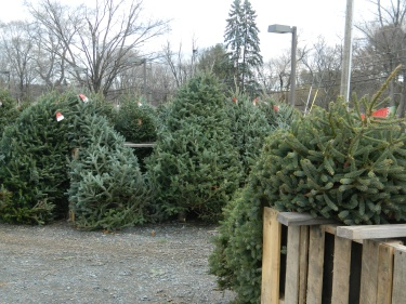 Christmas Trees .... Oh Christmas Trees.