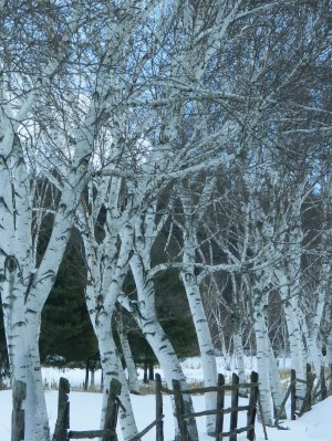 White Birch trees against a backdrop of snow stand tall on Buckland Road in Manchester, CT. amid a wind chill warning.